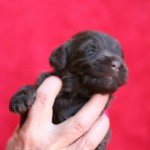 Someone holding a newborn Labradoodle puppy.