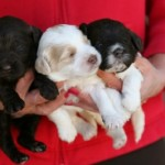 A woman holding three labradoodle puppies.