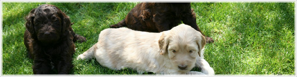 viion australia guide dog puppies