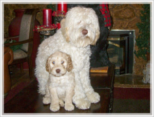 Cream colored labradoodle puppy for sale in california