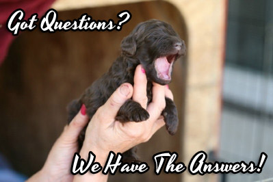 questions for labradoodles
